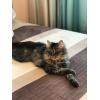 Очаровательная кошка Анечка ищет дом.